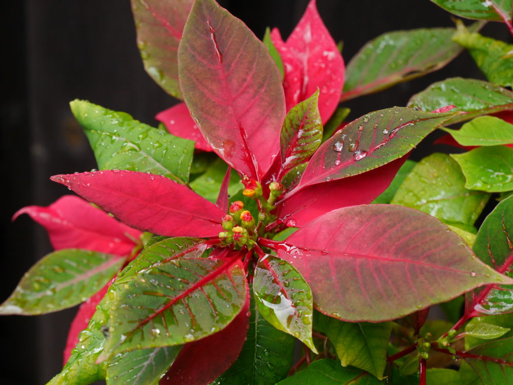 Das Foto zeigt eine Grü-Rote Blüte mit Wassertropfen
