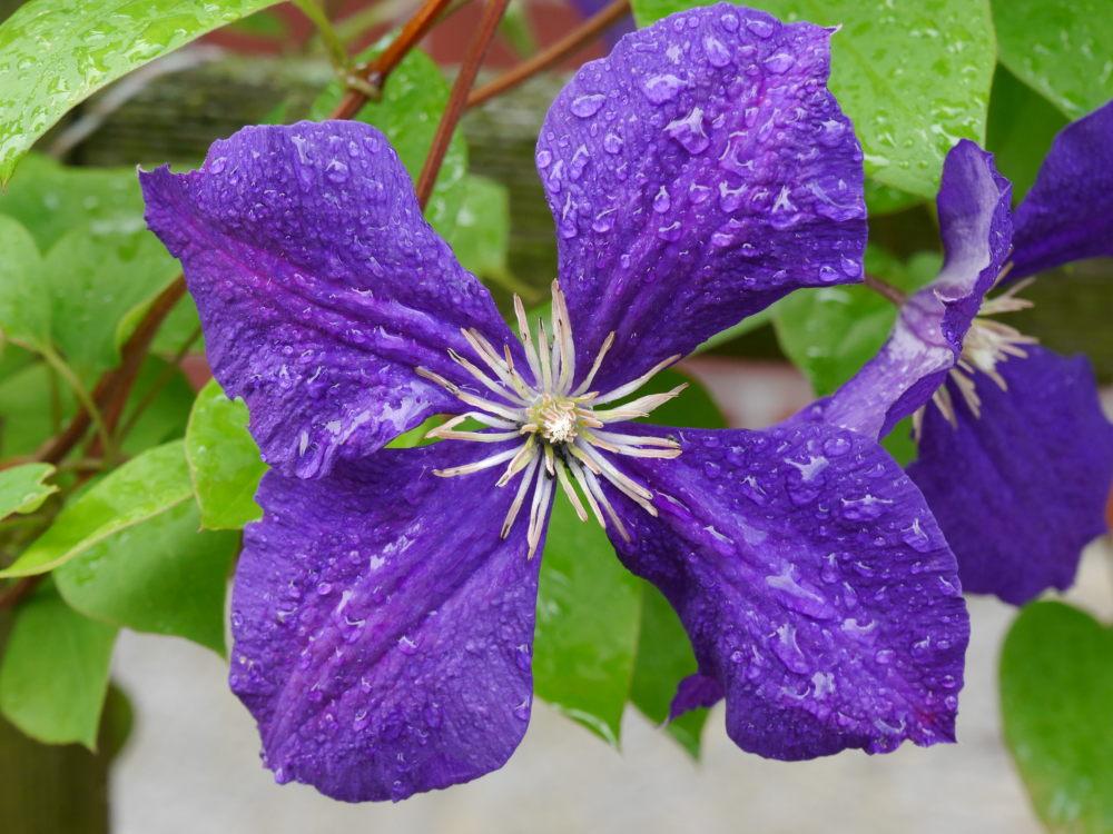 Das Foto zeigt eine vierblätterige Blüte in Lila mit Wassertropfen