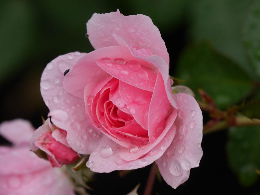 Das Foto zeigt eine Rosafarbene Rosenblüte mit Tropfen drauf