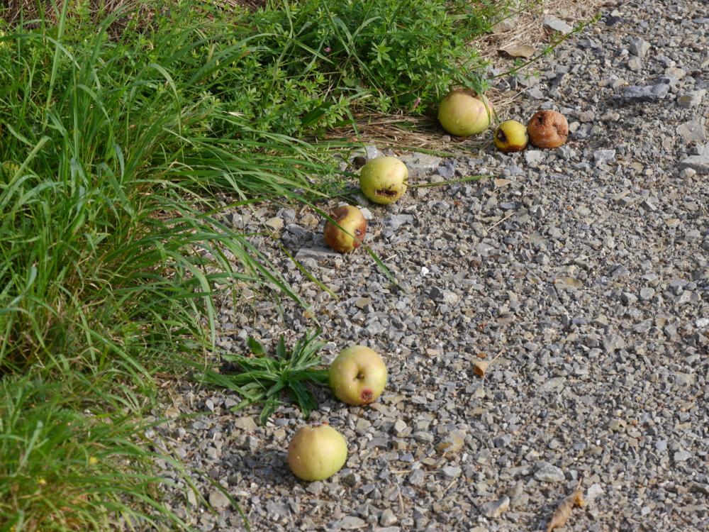 Das Bild zeigt 7, meist faulige Äpfel die im Schotter am Straßenrand liegen.