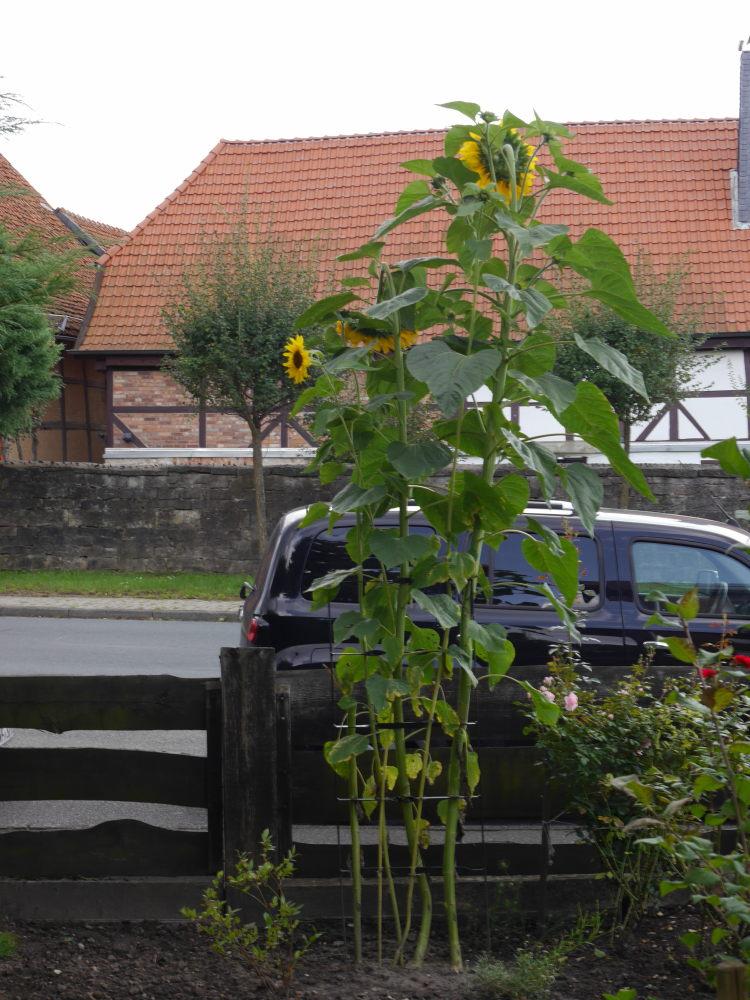 Das Foto zeigt sehr große Sonneblumen, eine Sonnenblume ist über 2 Meter hoch.