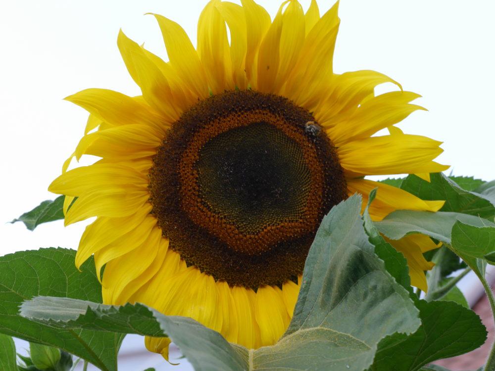 Das Foto zeigt die große Blüte einer großen Sonnenblume. Auf der Blüte sieht man eine Hommel.