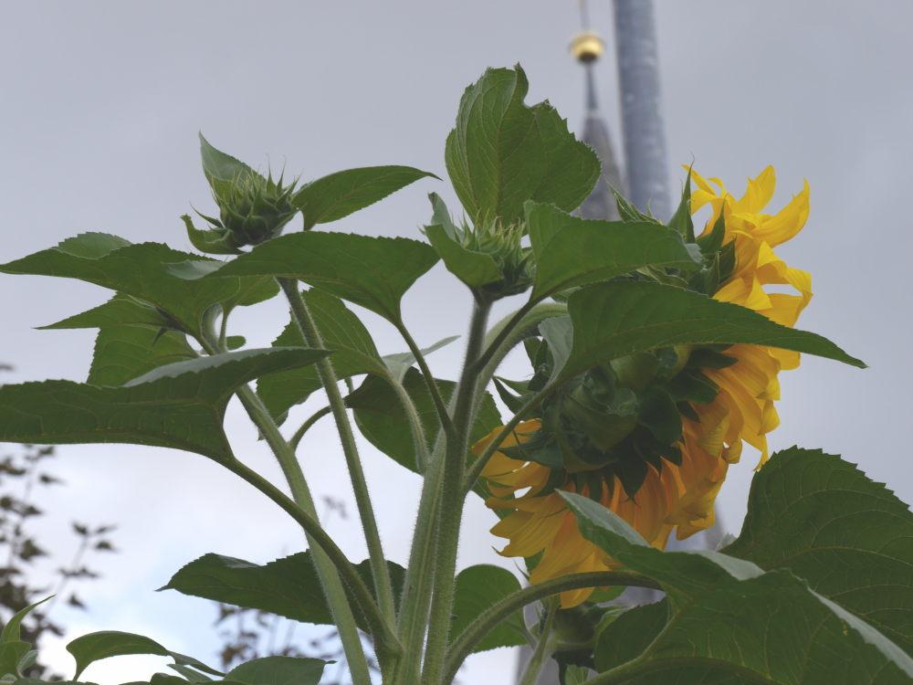 """Man sieht bei der Sonnenblume, das neben der großen """"Hauptblüte"""" mehrere kleine Blüten zum blühen ansetzen."""