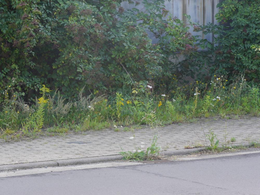 Das Foto zeigt einen Fußweg, der teilweise schon von Unkraut überwuchert ist. Wenn man genau hinschaut kann man die 4 Stolpersteine eranen, die sich vom normalen Pflaster abheben.