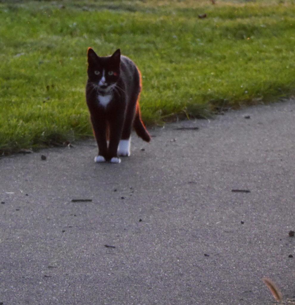 """Das Foto zeigt eine schwarze Katze mit weißen Pfoten auf einem Fußweg. Im Fell der Katze sieht man das """"gold"""" des Sonnenuntergangs. Die Katze schaut in Richtung Kamera"""