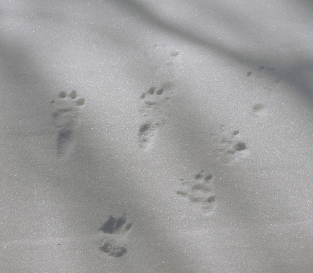 Das Foto zeigt Tierspuren im Schnee