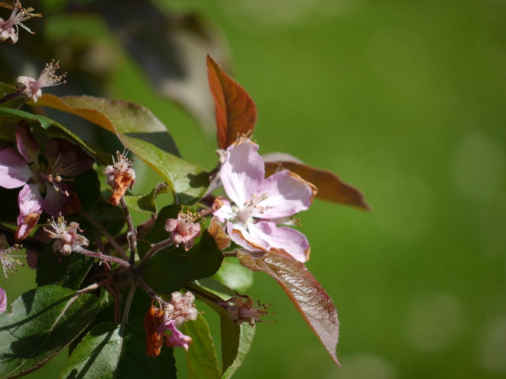 Das Foto zeigt Apfelblüten an einem Baum, zum Teil offen, zum Teil schon verblüht...