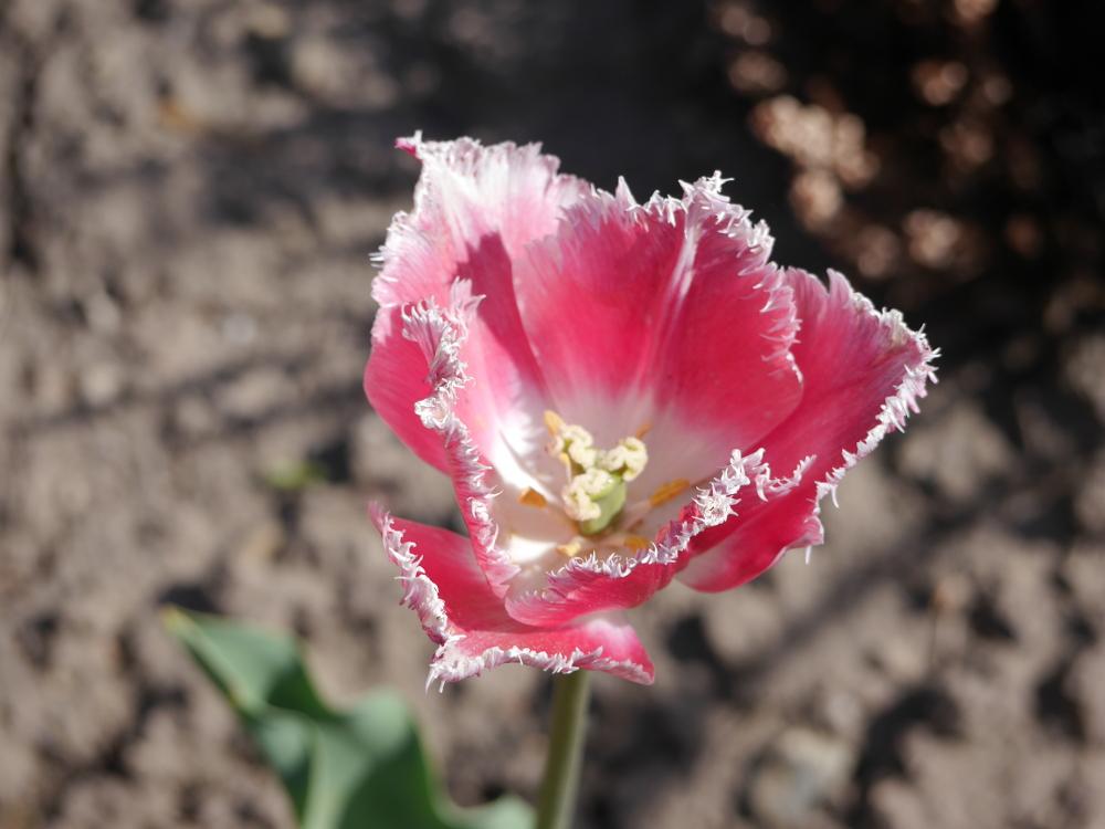 Das Foto zeigt eine Rote-Weiße, recht ausgefranste Blüte.