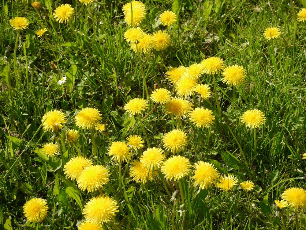 Das Foto zeigt gelbe Löwenzahnblüten auf einer Wiese.