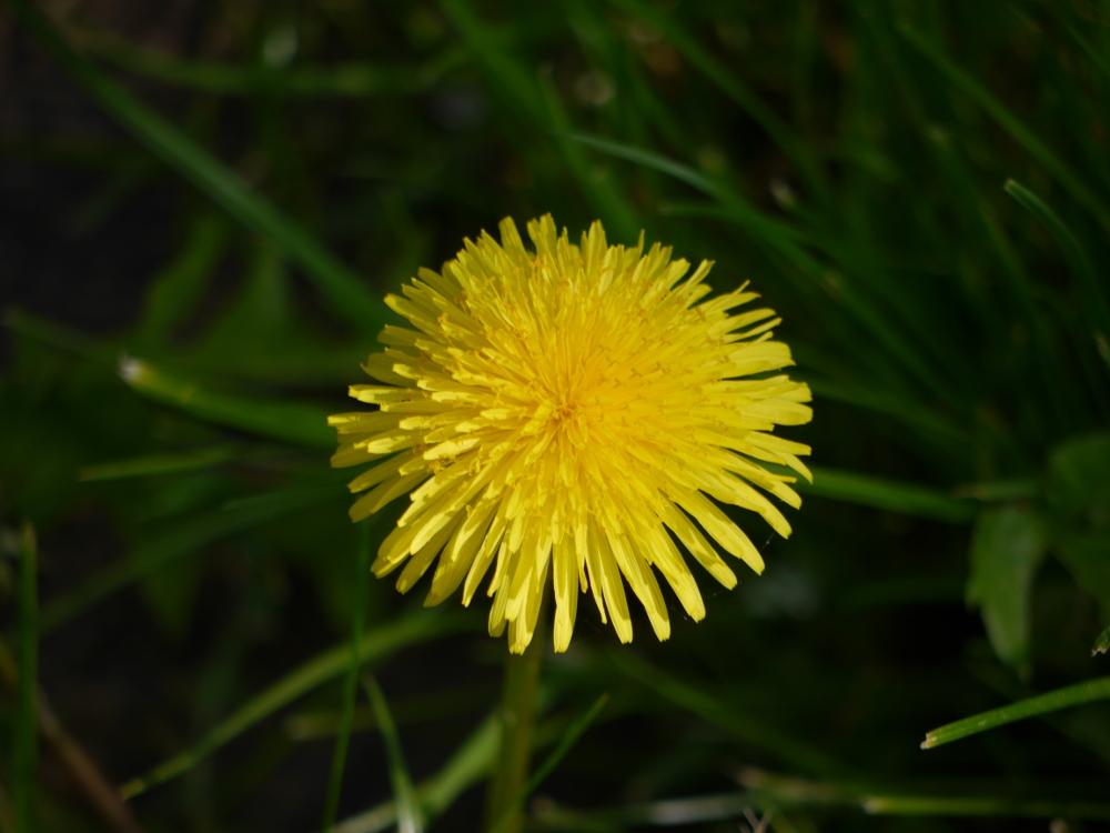 Das Foto zeigt eine einzelne Löwenzahnblüte