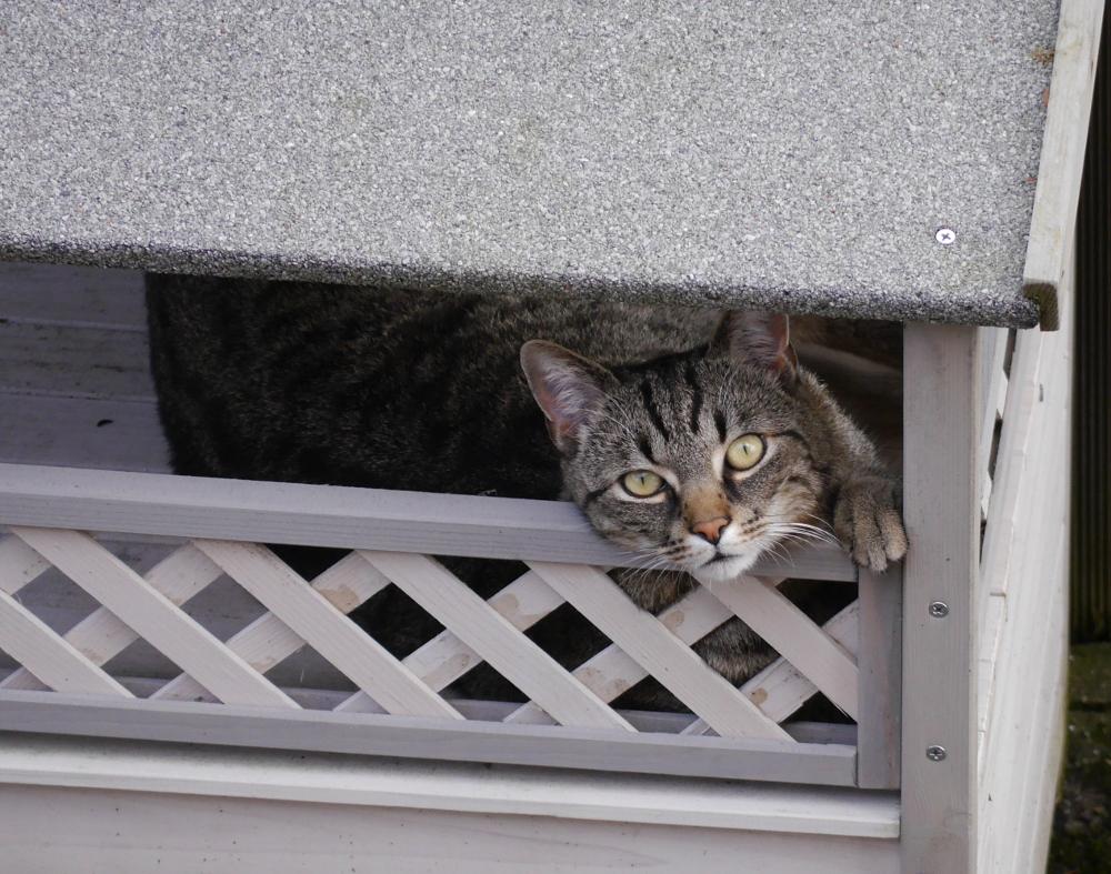 """Das Foto zeigt einen grau-schwarz getigerten Kater, der auf der Terasse von einem Katzenhäuschen liegt und nach """"oben"""" in Richtung Kamera schaut."""