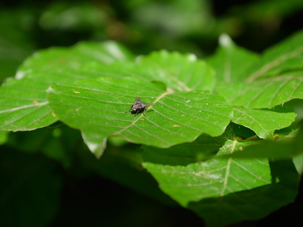 Das Foto zeigt eine Fliege, die auf einem grünen Blatt