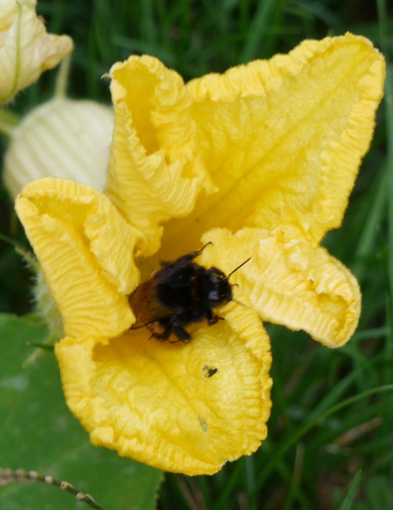 Das Foto zeigt die gelbe Blüte einer Kürbispflanze. Aus der Blüte kriecht gerade eine Hummel