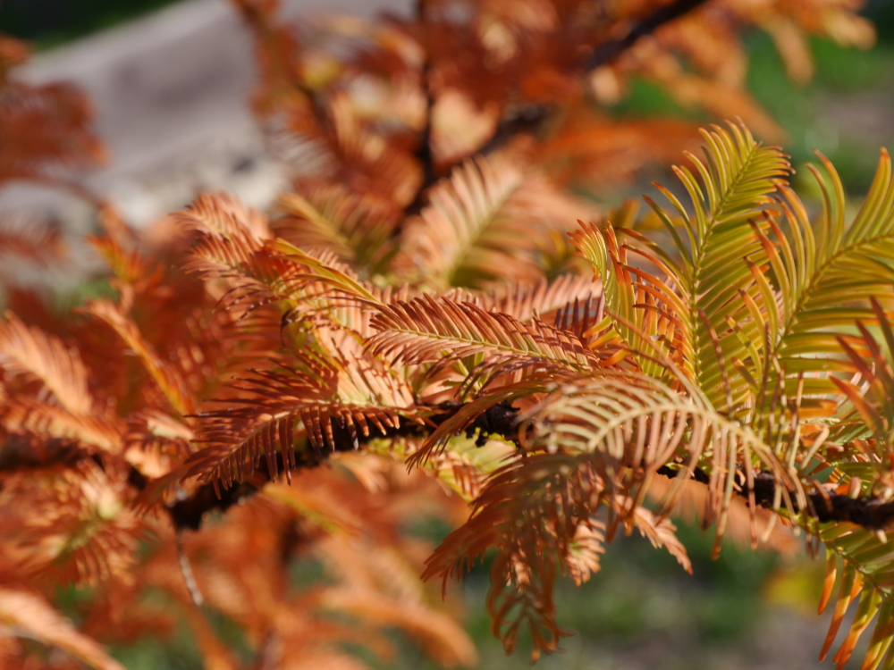Dasa Foto zeigt die durch den Herbst braun/gelb verfärbten Nadeln eines Mammutbaums