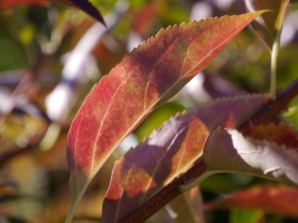 Dasa Foto zeigt Blätter, die sich durch den Herbst langsam ins rötliche Verfärben