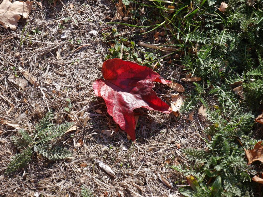 Dasa Foto zeigt ein vom Herbst rot verfärbtes Blatt, welches auf dem Boden liegt