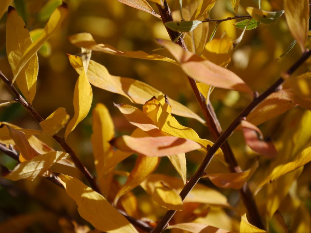 Das Foto zeigt vom Herbst gelb verfärbte Blätter