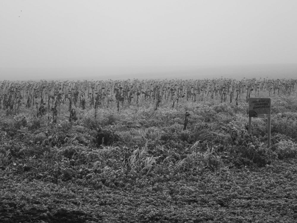 """Das s/w-Foto zeigt ein verblühtes Sonnenblumenfeld im Nebel. Rechts steht ein Schild """"Hier Blüht es für Hummeln & Co."""""""