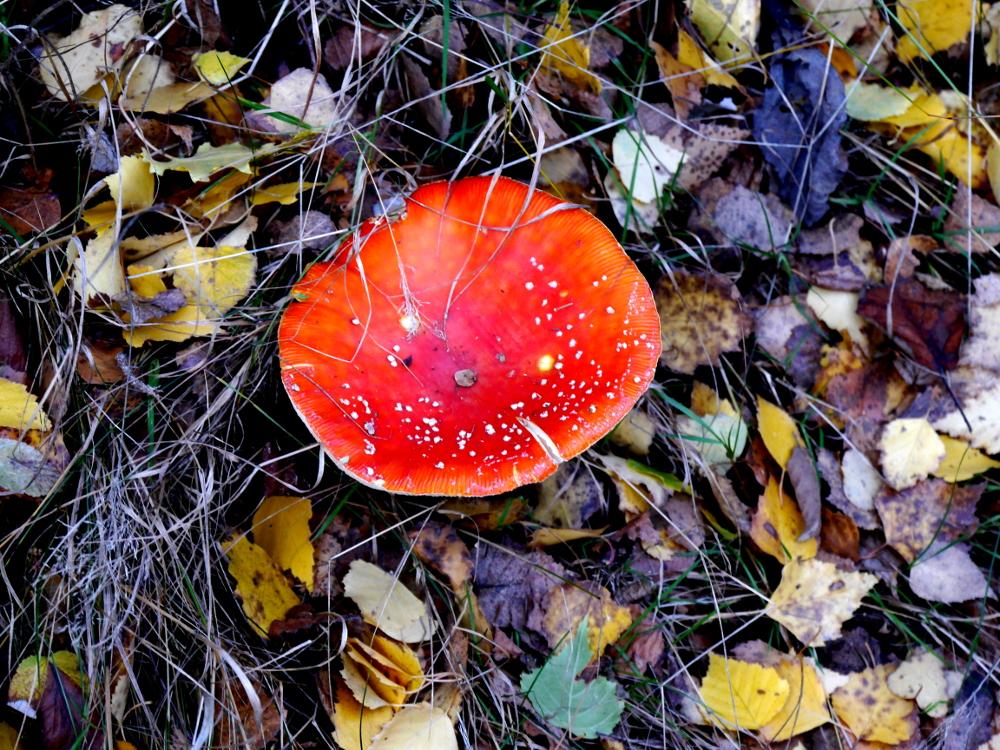 Dasa Foto zeigt einen Fliegenpilz aufdem Herbstboden zwischen buntem Laub