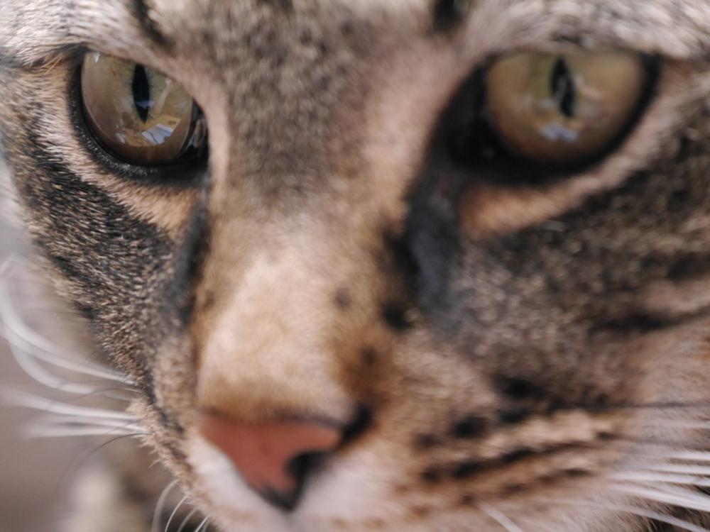 Das Foto zeigt die Augenpartie eines grau-Schwarz getigerten Katers, das linke Auge ist scharf, das rechte und die Nase leicht unscharf.