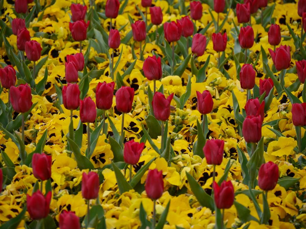 Das Bild zeigt ein Blumenmeer aus roten Tulpen und gelben Stiefmütterchen