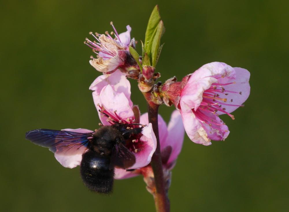 Das Foto zeigt eine schwarze Biene in einer rot/weißen Pfirsichblüte