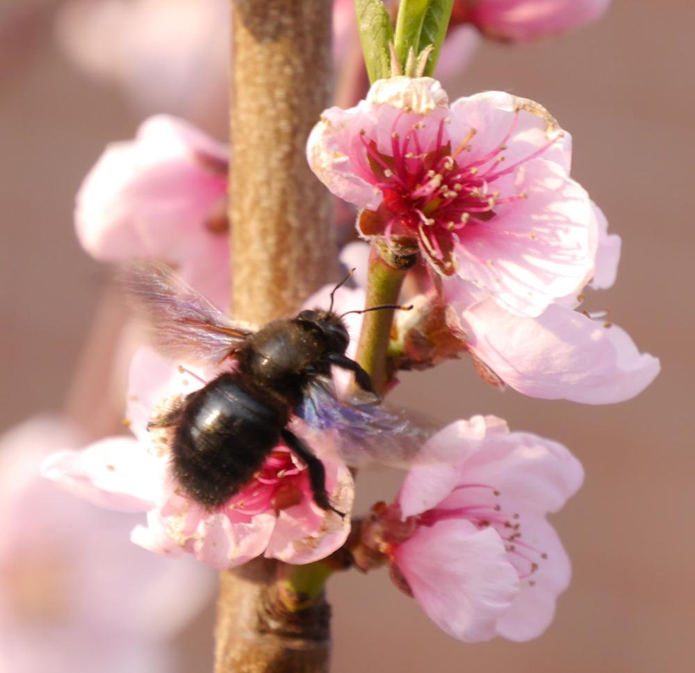 Das Foto zeigt eine schwarze Biene auf einer rot/weißen Pfirsichblüte