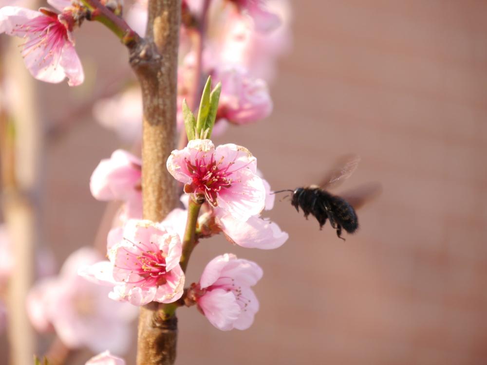 Das Foto zeigt eine schwarze Biene im Anflug auf eine rot/weißen Pfirsichblüte