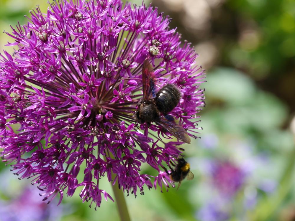 """Dasa Foto zeigt eine schwarze (Vordergrund) und eine """"normale"""" Biene an den Blüten einer Lila-Farbenen Staude."""