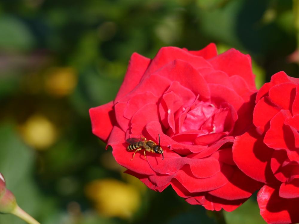 Eine rote Rosenblüte, auf der sitzt eine kleine Wespe.