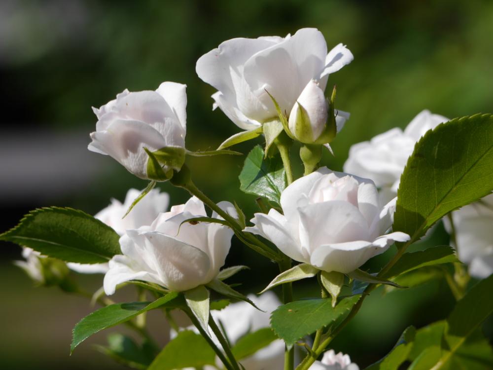 Weiße Rosenblüten in verschiedenen Öffnungsstadien