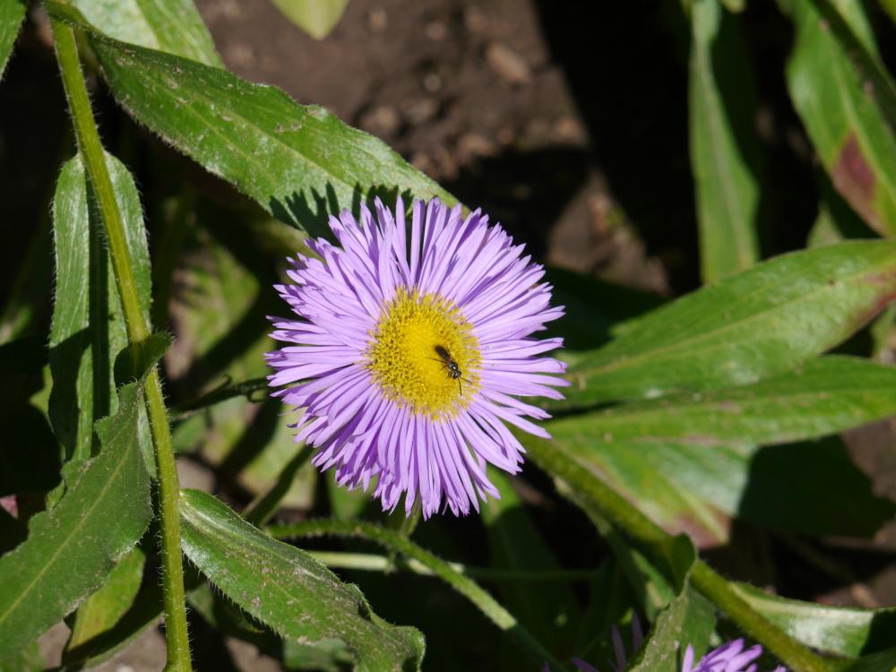 Eine lila Blüte, auf deren geben Mitte ein Insekt sitzt