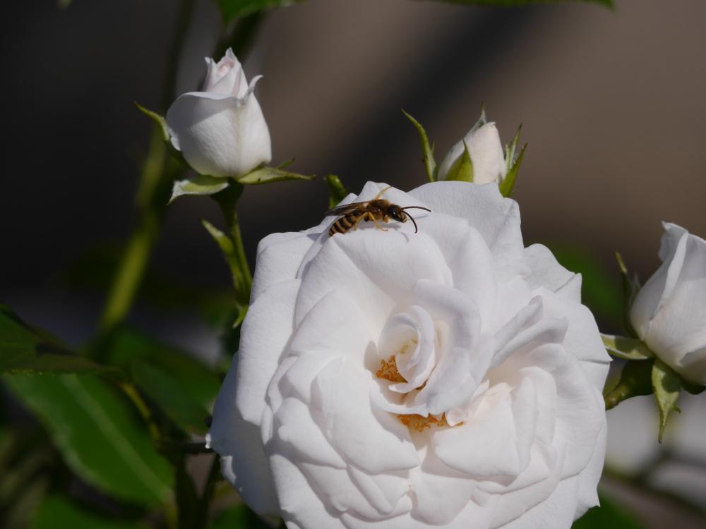 Eine weiße Rosenblüte, auf der eine Wespe sitzt