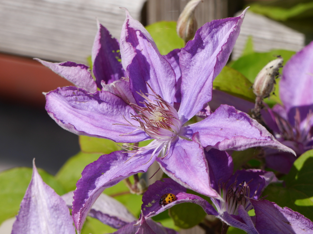 Eine lila Blüte. Unter ihr ist eine weitere Blüte im Schatten, auf deren Blütenblättern ein Marienkäfer sitzt.