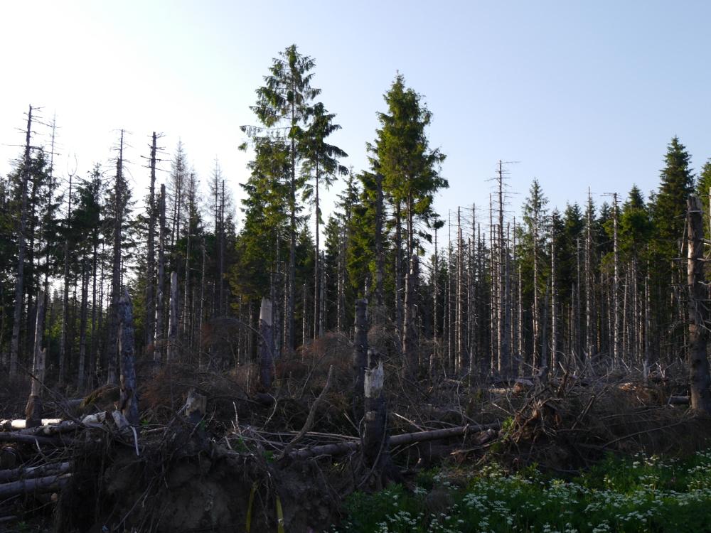 Dasa Bild zeigt stehende, tote Bäume im Nationalpark Harz, einige Bäume haben noch Nadeln.