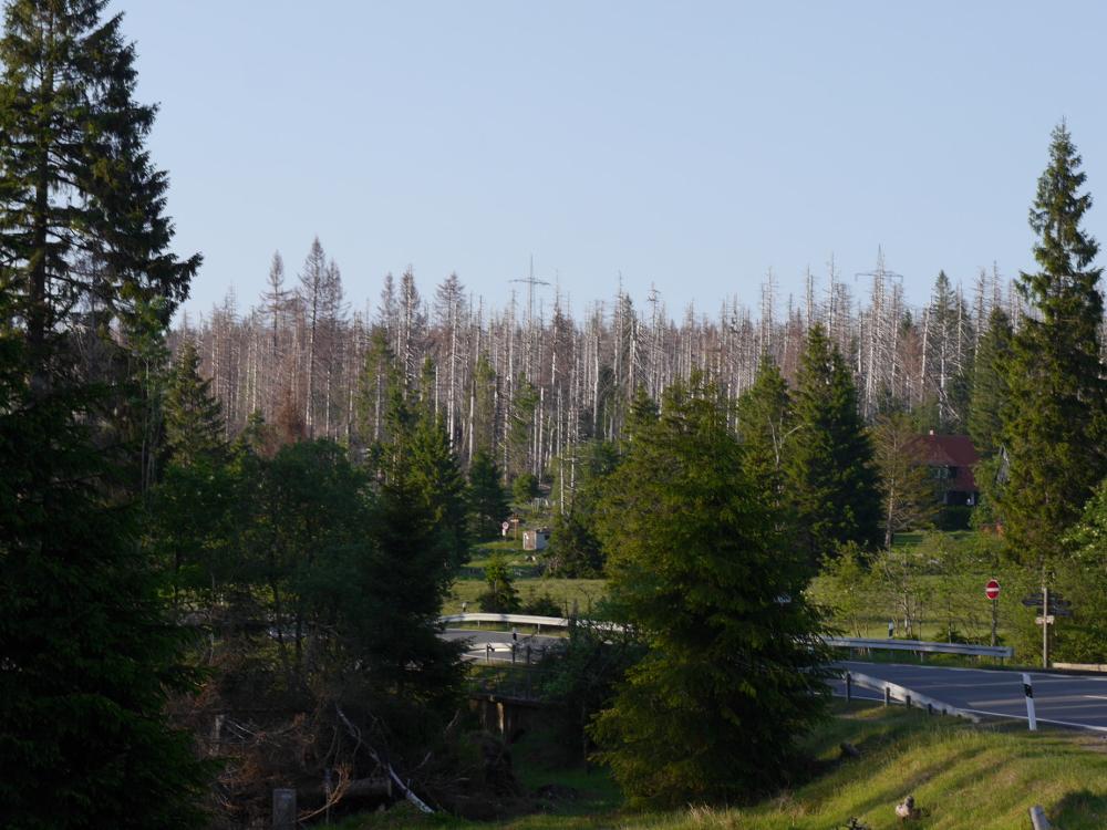 Landschaftsaufnahme im Nationalpark Harz. Man sieht viele stehende, tote Bäume. Im Hintergrund sind die Masten einer Strom-Freileitung.