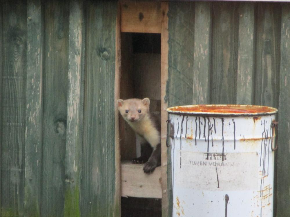 Das Foto zeigt einen Marder, der durch ein fehlendes Brett einer Holzverkleidung von einem Gebäude schaut.