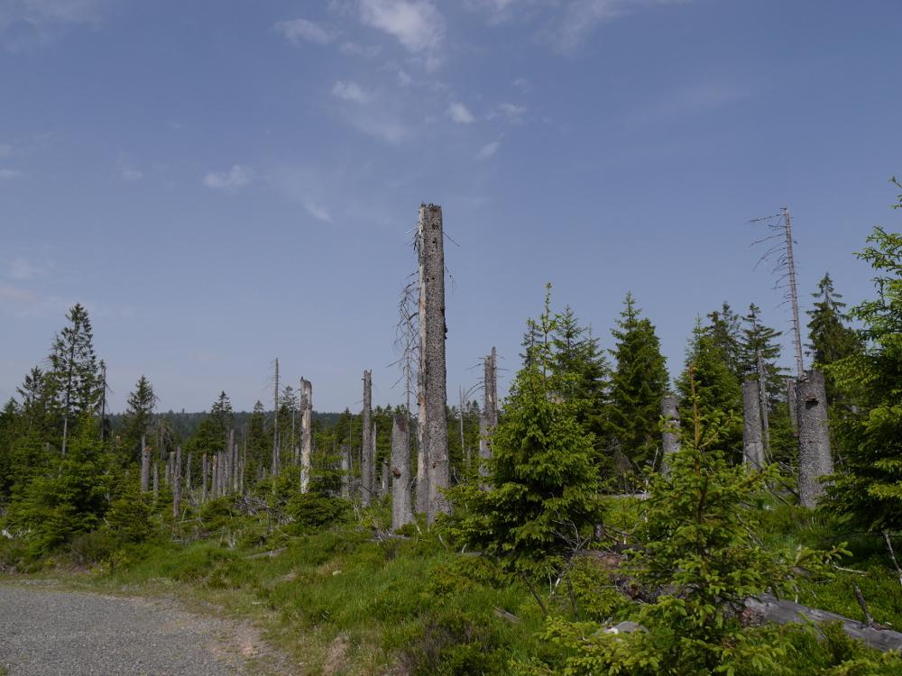 im Nationalpark Harz, man sieht stehende, tote Bäume und dazwischen wachsen neue Fichten.