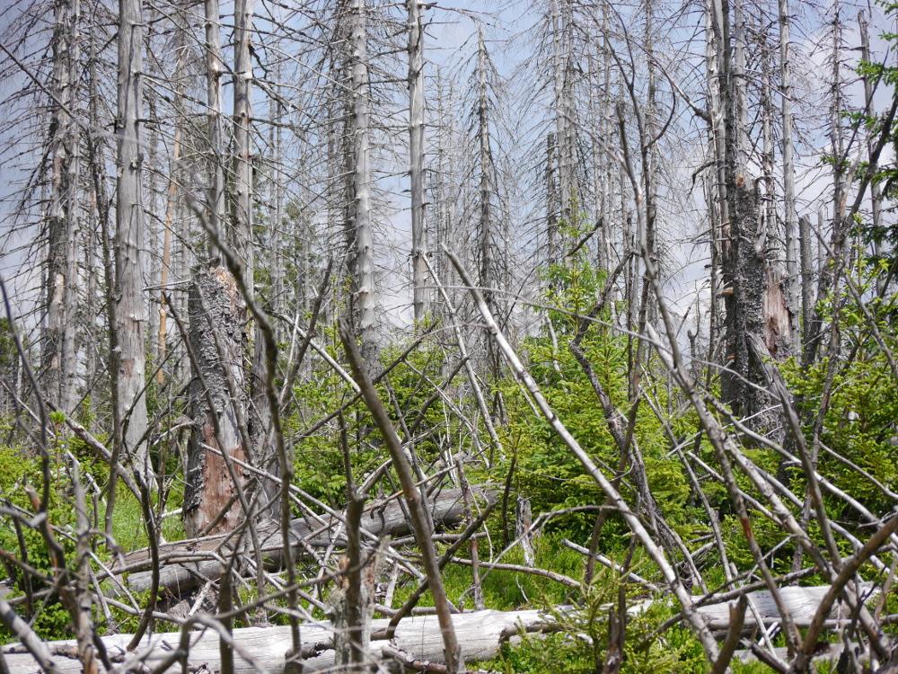 Im Nationalpark Harz, man sieht viele stehende, tote Bäume, manche liegen auch, und dazwischen sieht man die ersten jungen Tannen.