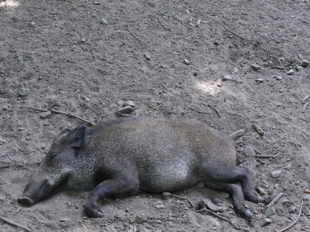 Das Foto zeigt ein wie tot liegendes (und schlafendes) Wildschwein.