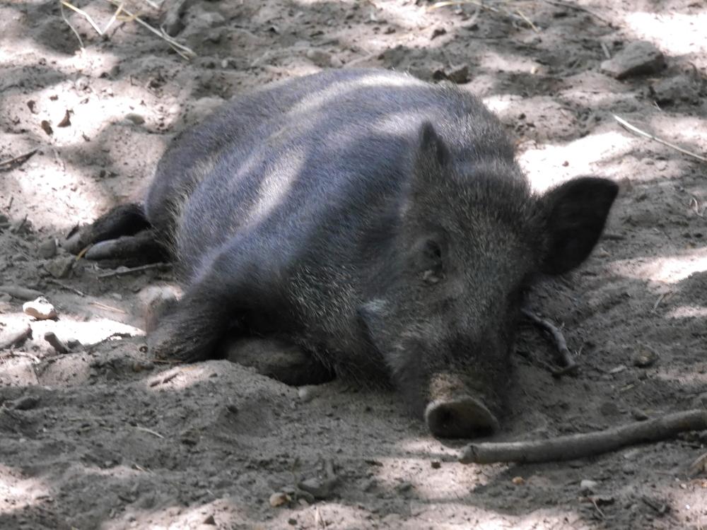 Das Foto zeigt ein schlafendes Wildschwein, der Kopf weist Richtung Fotograf
