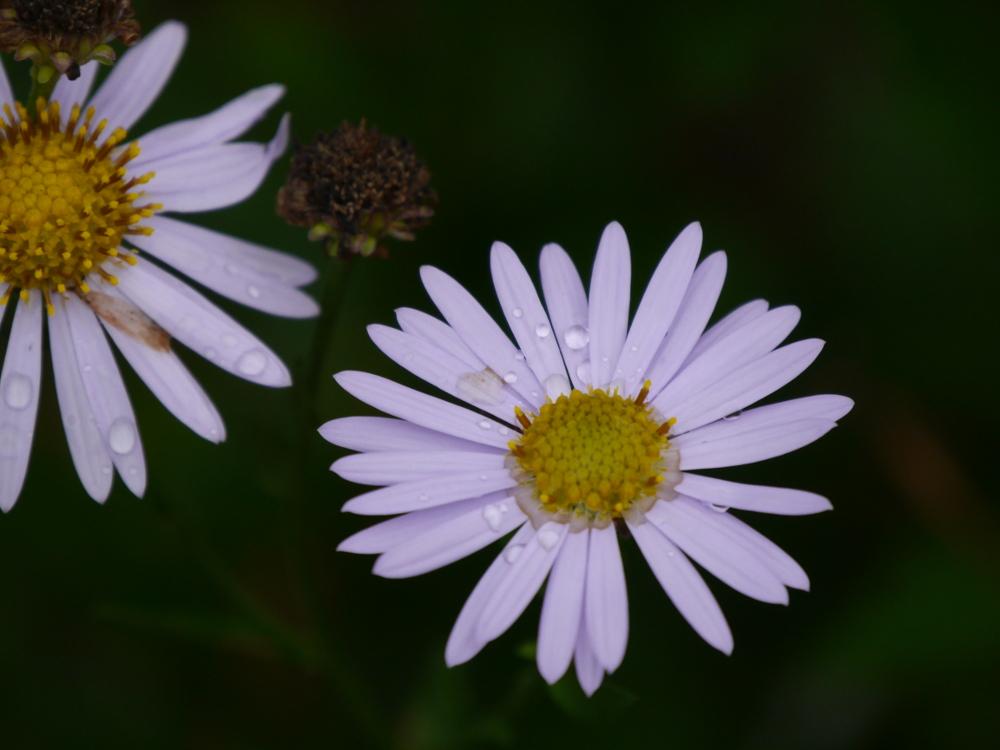 Das BIld zeigt weiße Blüten mit Regentropfen auf den Blütenblättern