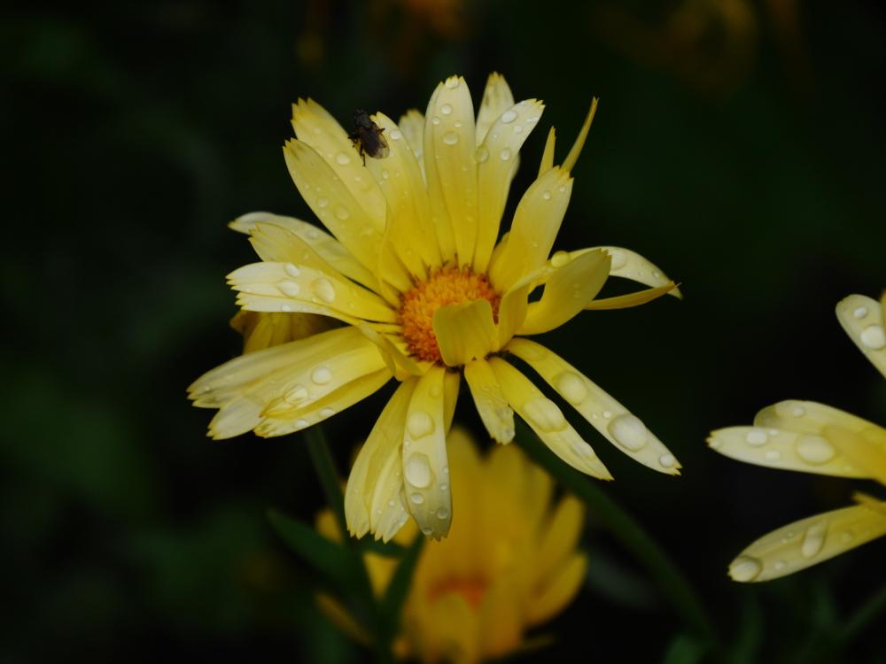 Dasa Bild zeigt gelbe Blüten mit Regentropfen auf den Blütelblättern, auf der einen Blüte im Vordergrund sitzt eine Fliege