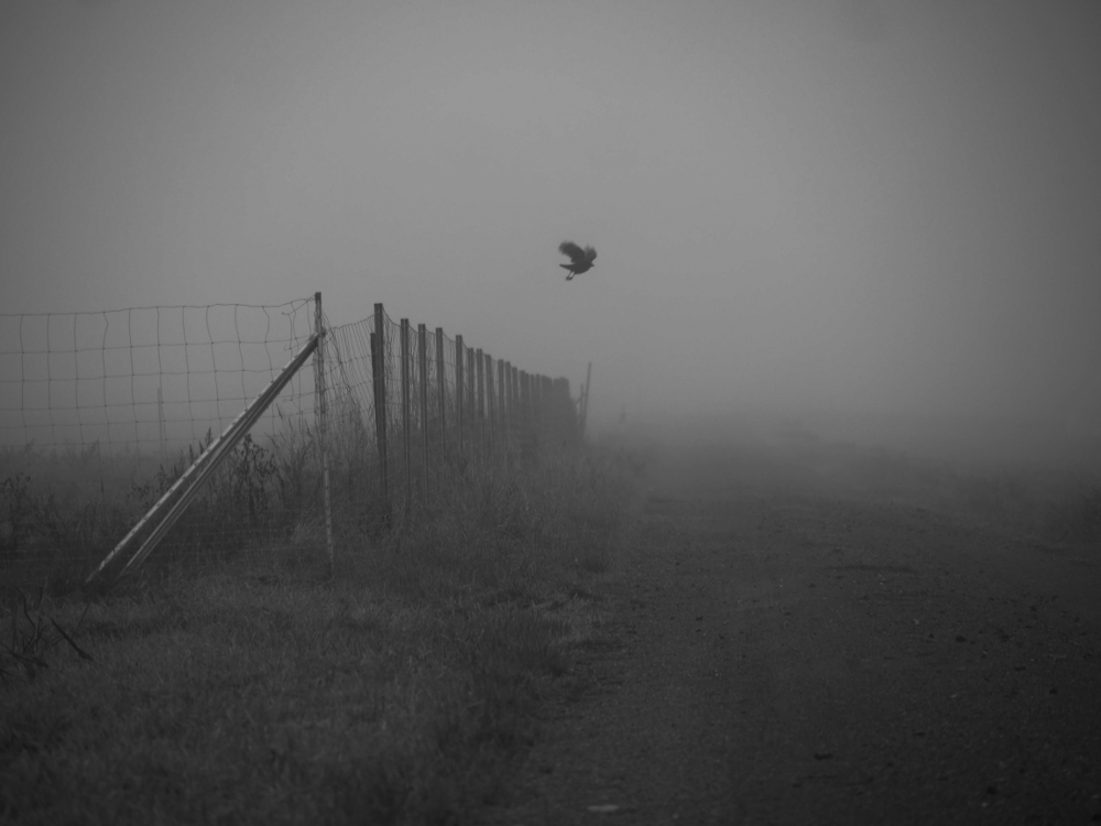 Das s/w-Foto zeigt einen Zaun an einem Feld. Vom Zaun hat sich gerade ein großer Vogel erhoben und fliegt jetzt weg.