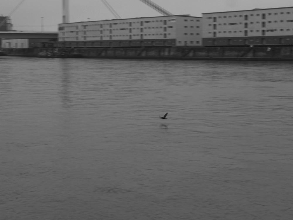 Das s/w-Foto zeigt einen Vogel der dicht über dem Rhein fliegt, im Hintergrund sind leicht unscharf Hafengebäude in Mannheim