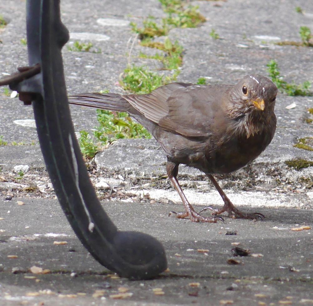 Ein schwarzer Vogel, der auf dem Boden zwischen Gartenstühlen steht.