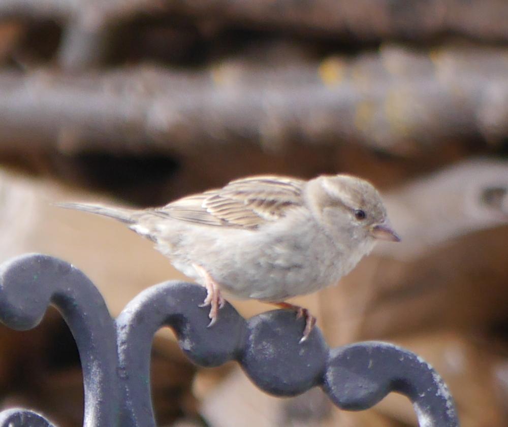 Ein kleiner Vogel auf einem Gartenstuhl. Leider nicht so ganz scharf...