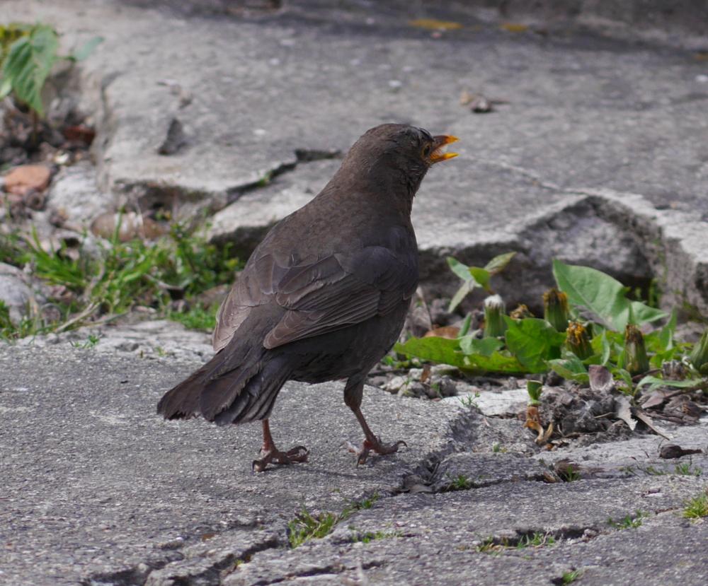 Ein schwarzer Vogel auf dem kaputten Pflaster auf dem Hof