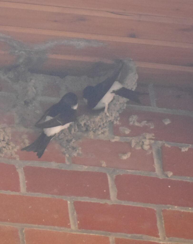 """Ein schlechtes weil """"milchiges"""" Foto von zwei Schwalben, die gerade ein Nest bauen."""