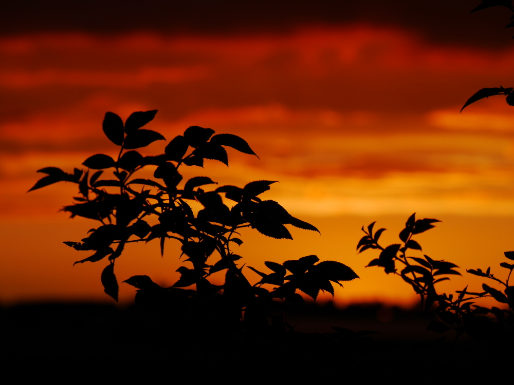 Das Foto zeigt Äste mit Blättern von einem Busch vor einem dramtischen Himmel durch einen dramtischen Sonnenuntergang im Hintergrund